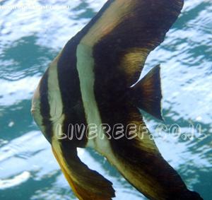 עטלף פלטקס טיארה - Tiera batfish , longfin batfish , roundface batfish