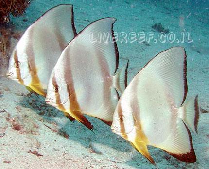 עטלף אורביקולריס - Orbicularis batfish , narrowbanded batfish , sicklefish