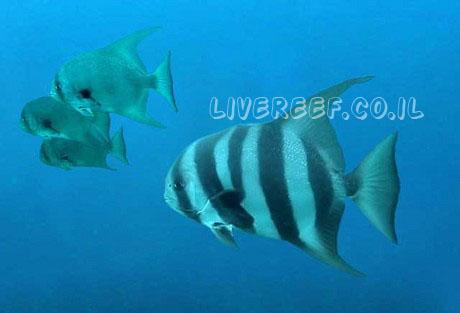 עטלף פסיפיק - pacific spadefish