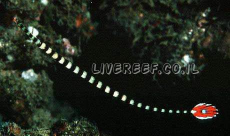 פייפיש טבעות  Banded Pipefish