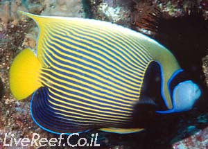 אנג'ל אימפרטור  Emperor Angelfish