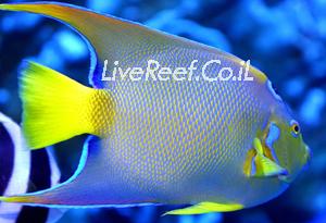 אנג'ל קווין  Queen Angelfish