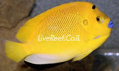 אנג'ל 3 נקודות Flagfin Angelfish
