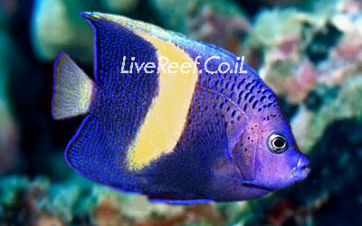 אנג'ל מקולוסוס  Maculosus Angelfish