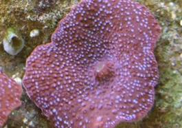 Spotted Mushroom