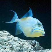 נצרן ויטולה , נצרן קווין  - Queen triggerfish