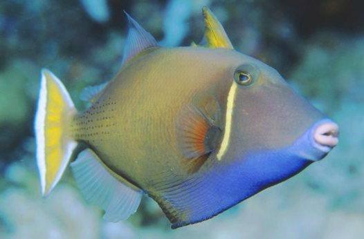 נצרן ירח   - Halfmoon triggerfish