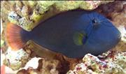 נצרן וידואה  - Pinktail Triggerfish