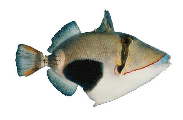 נצרן בורסה - Bursa Triggerfish