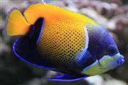 אנג'ל נבארכוס Blue Girdled Angelfish - Navarchus