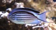 אנג'ל למארק  Lamarck's Angelfish