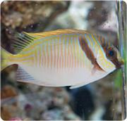 ארנבת שני פס Two Barred Rabbitfish