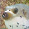 דגי קופסא